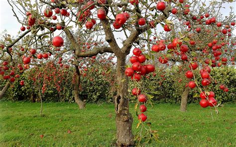 apple tree with fruits apple tree hd wallpaper