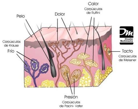 imagenes de organos sensoriales las sensaciones los 243 rganos de los sentidos p 225 gina 2
