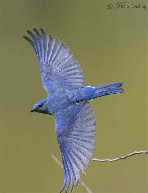 mountain bluebird an imperfect image but i ll keep it