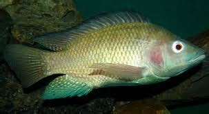 raising tilapia in your backyard 3 fish to raise in your backyard fish pond worldwide