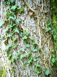 Free stock photo in high resolution ivy climbing tree plants