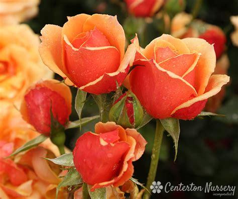 face hybrid tea rose