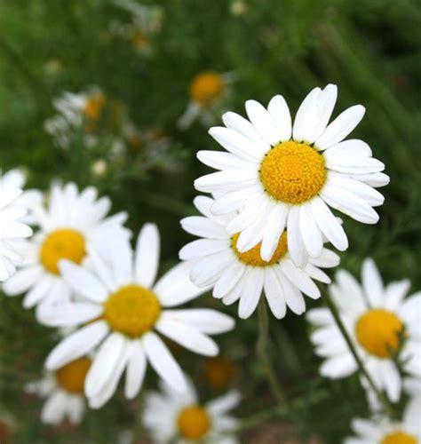 Teh Camomile magis bunga nak tahu macam mana serinya boleh melekat di