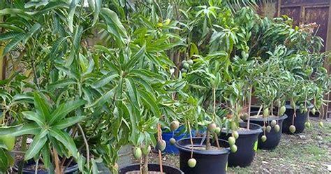 Tanaman Mangga Okyong budidaya tanaman mangga dalam pot budidayaku