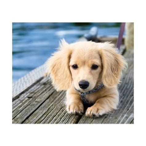 golden retriever x dachshund golden retriever dachshund mix aka golden dox dogable