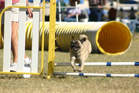 puppy agility critter gal updated weekly with fido agility services in