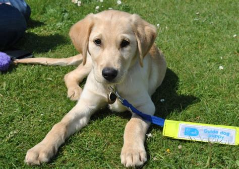 new puppy guide can you give a guide puppy a home new in ely looking for volunteers ely