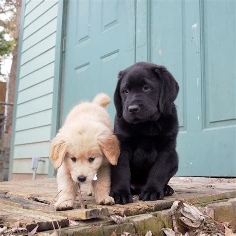 can golden retrievers be black your for the day our 1st pupperday with golden