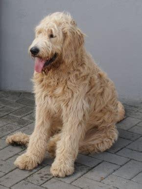 mini doodle züchter deutschland goldendoodle welpen doodle hund doodle hunderassen