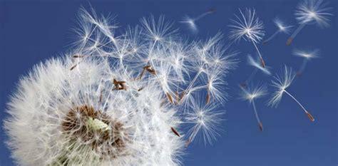 dente di fiore la meravigliosa leggenda soffione blueplanetheart it
