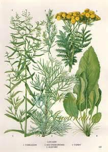 herbs vintage botanical print antique plant by