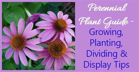 growing perennials   grow perennial plants
