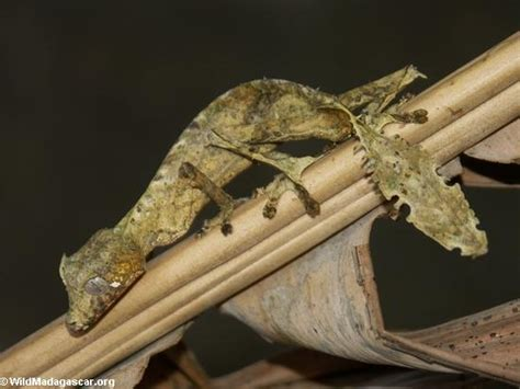 Baju Bayi Di Lavie Bandung toke menyerupai daun kering uroplatus phantasticus
