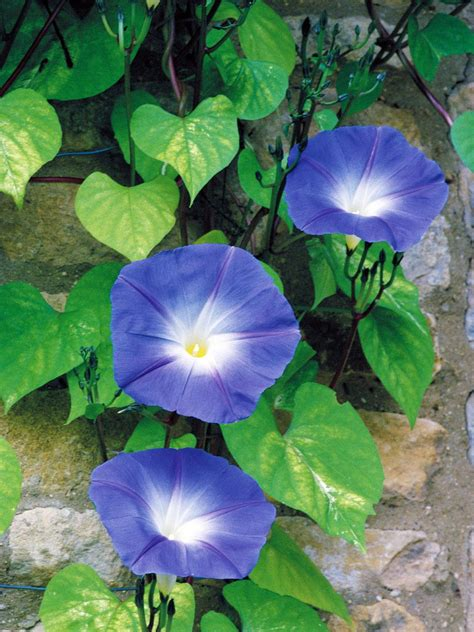 Blue Flowers by Types Of Blue Flowers Hgtv