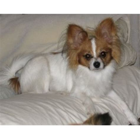 papillon puppies for sale mn mck papillons papillon breeder in branch minnesota listing id 16573