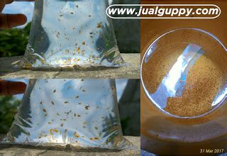 Jual Bibit Zooplankton jual daphnia magna dan kutu air sale guppy fish indonesia