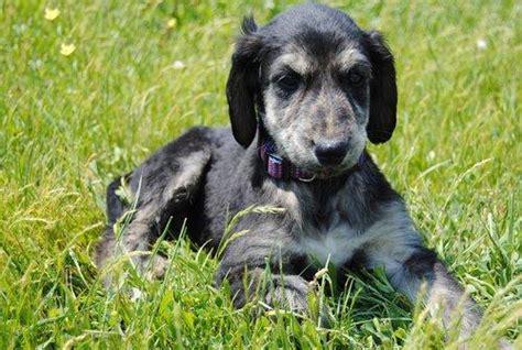 afghan hound puppies for sale afghan hound puppies for sale barnsley dogs for sale puppies for sale barnsley