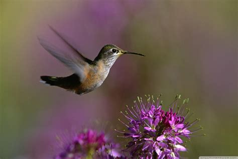 hummingbird 4k hd desktop wallpaper for 4k ultra hd tv