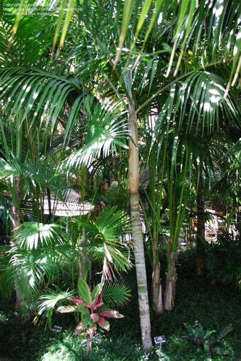 palms throughout the world plantfiles pictures plumose dypsis dypsis plumosa by palmbob