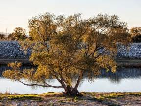 tree pictures the deaths of millions of california trees endanger the