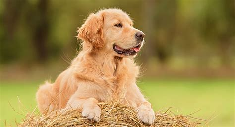 golden retriever length labrador retriever vs golden retriever which breed is best