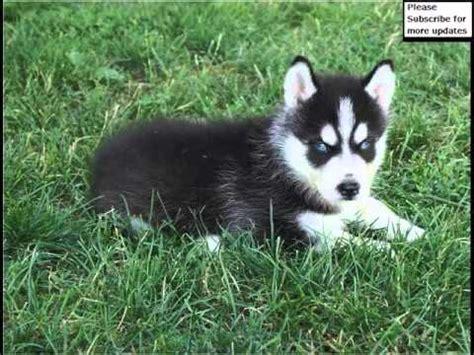 black husky puppies black siberian husky puppies siberian husky breed pictures