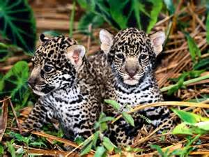 Jaguar Child Animals For Children