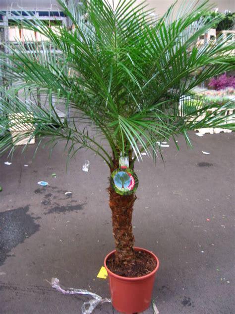 winterharte pflanzen für balkon palmen f 195 188 r balkon home interior minimalistisch www
