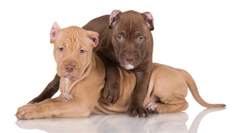 pitbull facts 23 pit bull facts and why you should adopt a pit bully
