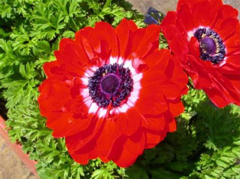 flower pictures flowers and meanings anemone flower picture and meaning