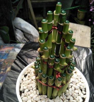 Jual Bibit Bambu Hoki jual tanaman bambu hoki runcing bibit