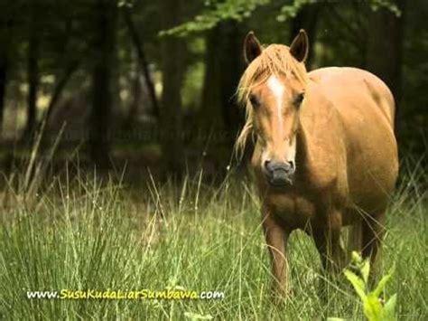 Kuda Liar Khas Sumbawa kuda liar sumbawa minyak bulus hajar jahanam wmv