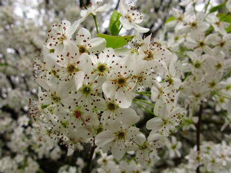 file white pear flowers macro tree west virginia