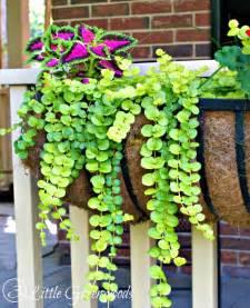 hometalk best plants for hanging baskets