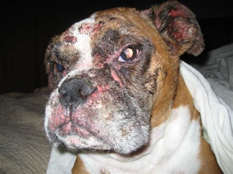 pemphigus in dogs skin issue canine pemphigus foliaceus page 2