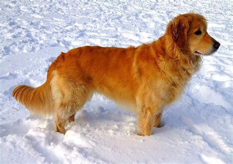 is a golden retriever a golden retriever american and canadian type matrix