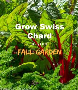 What To Grow In Fall Garden - how to grow swiss chard in your fall garden melissa k norris