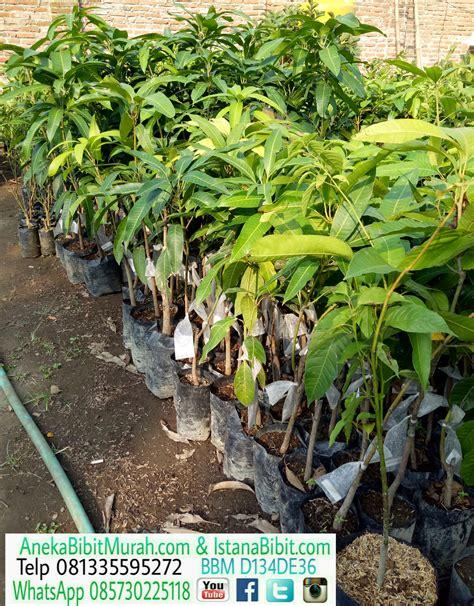Bibit Mangga Irwin Di Bogor jual bibit mangga irwin harga terjangkau aneka bibit murah