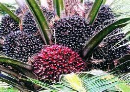 Minyak Kelapa Sawit Di Malaysia anim agro technology industri kelapa sawit
