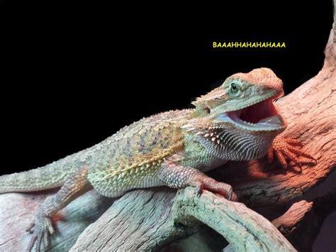 Laughing Lizard Meme - laughing lizard hhhehehe know your meme