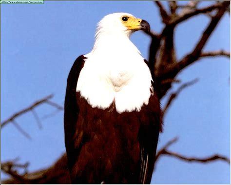 Imagenes Aguilas Blancas   fotos de 225 guilas i