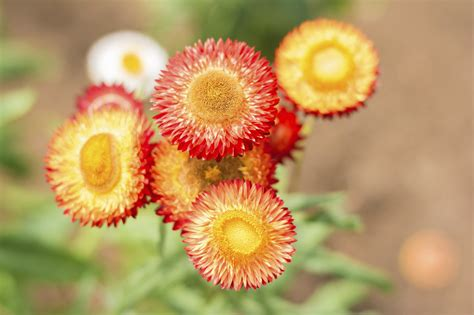 strawflower care learn about the growing conditions for strawflowers