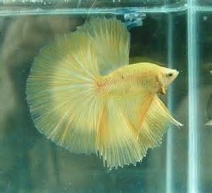betta fish losing color betta colors betta splendens of colorado