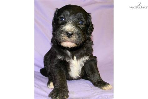 Non Shedding Cross Breed Dogs by Shepadoodle For Sale For 1 250 Near Ce60cc61 E561