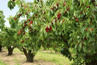 cherry in your tree xtc cherry tree types what are some common varieties of cherry trees