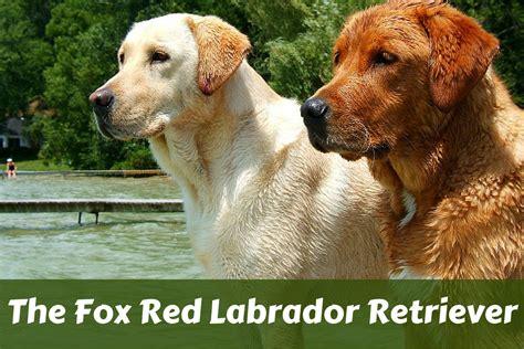 american color labs fox labrador retriever labrador hq