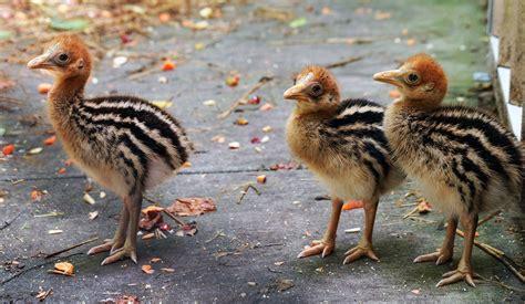 three cassowary chicks hatch at the virginia zoo wtkrcom