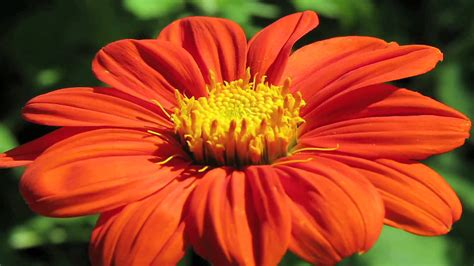 gardening tips how to grow mexican sunflower tithonia