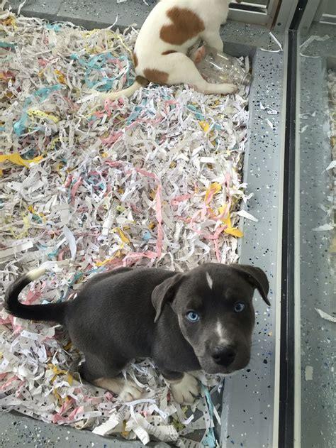 pitsky puppies 31 best images about pitsky on my boys pit bull mix and husky mix