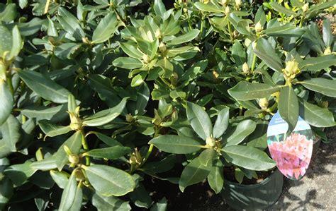 file nova zembla rhododendron plants growing in nj in april jpg wikimedia commons